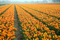 Colorful field of tulips. The Netherlands Stock Photography
