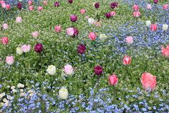Colorful field tulips and blue forget-me-not flowers. Beautiful field of pink tulips and blue forget-me-not flowers Royalty Free Stock Photo