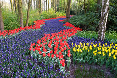 A colorful field of tulips and hyacinths Royalty Free Stock Photo