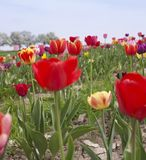 Colorful field of tulips Stock Photos