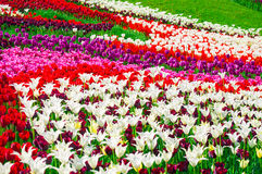 Colorful field of tulips in spring Royalty Free Stock Photography