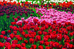 Colorful field of tulips in spring Royalty Free Stock Photo