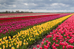Free Colorful Field With Rows Of Tulips Royalty Free Stock Photos - 24719848