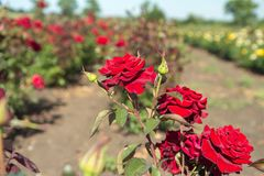 Colorful fields with blooming red roses, summer outdoors stock image