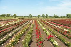 Colorful fields with blooming roses, summer outdoors stock photo