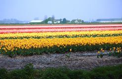 Colorful fields of flowers. The Netherlands Stock Photo