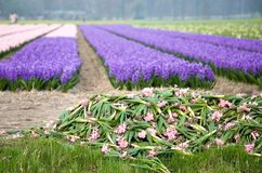 Colorful fields of hyacinths. With the pile of cut flowers in the foreground. The Netherlands Royalty Free Stock Image