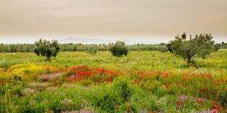 Poppies field in Italy Tuscany Stock Photo