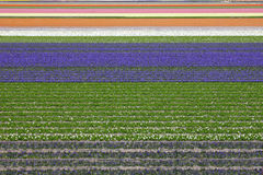 Colorful fields of tulips and hyacinth Royalty Free Stock Photography