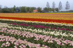Colorful fields with tulips Royalty Free Stock Photography