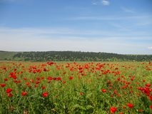 Poppy field, Summer landscape stock image