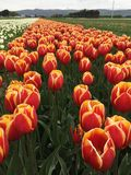 Colorful filed of tulips. Field of colorful tulips in sunny field on farm Stock Photography