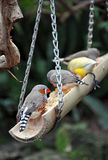 Colorful finches on bird feeder Stock Image