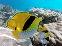Colorfull fisch underwater. Colorful fisch with reefs underwater foto royalty free stock image