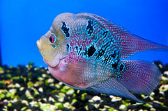 Colorful fish. In blue water Royalty Free Stock Photos