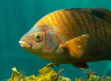 Colorful fish. In the kelp forest, pacific coast, california Royalty Free Stock Images