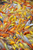 Colorful fish. Background of colorful fish in water stock images