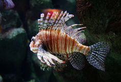 Colorful Fish. A colorful sculpin swiming in an aquarium Royalty Free Stock Photography