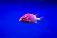 Colorful fish Royalty Free Stock Photography