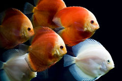 Colorful fish Royalty Free Stock Photo