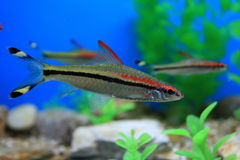 Colorful fish. This is a very colorful fish in the fish tank Stock Photo