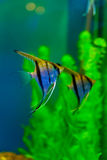 Colorful fish aquarium Stock Image