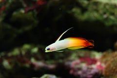 Colorful fish in aquarium. Close-up of small, colorful fish in aquarium tank Royalty Free Stock Photography