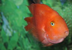 A colorful fish in an aquarium Stock Photography
