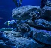 Colorful fish in the aquarium royalty free stock image