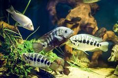 Colorful fish in aquarium. Colorful fish - Kolobrzeg aquarium tank Stock Images