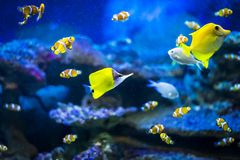 Colorful fish in aquarium. Colorful fish - Kolobrzeg aquarium tank Stock Photo