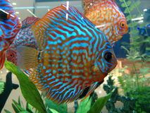 Colorful fish of aquarium. The fish is a limbless cold-blooded vertebrate animal with gills and fins and living wholly in water Stock Photos