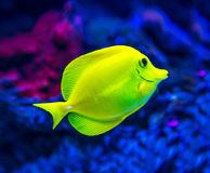 Colorful fish in aquarium. Saltwater world royalty free stock photography