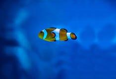 Colorful fish in aquarium Royalty Free Stock Image