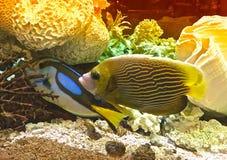 Colorful fish. Colorful aquarium fish swim around coral Royalty Free Stock Image
