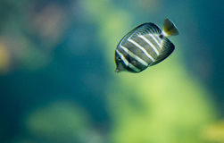 Colorful fish in aquarium swimming Royalty Free Stock Images