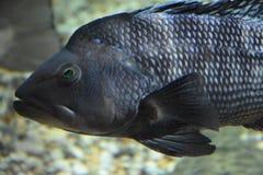 Colorful Fish in an Aquarium Stock Images