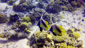 Colorful Fish On beautifull Coral Reef. Red Sea stock footage
