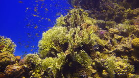 Colorful Fish On beautifull Coral Reef stock video