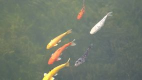 Colorful fish with black swan stock footage