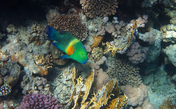 Colorful Fish. Broomtail Wrasse swimming in the Coral Reef, Red Sea Royalty Free Stock Photography