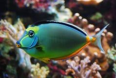 Colorful fish closeup. Naso lituratus colorful fish closeup Royalty Free Stock Image