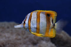 Copperband butterflyfish. (Chelmon Rostratus) in aquarium Royalty Free Stock Images