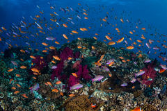 Colorful Fish and Coral Reef Royalty Free Stock Images