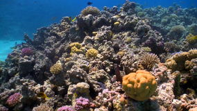 Colorful Fish on Coral Reef stock video