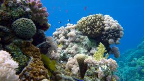 Colorful fish on coral reef, Red sea. 4K stock video footage