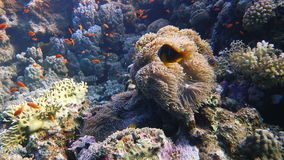 Colorful Fish and corals On Reef  in red sea stock video footage