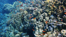 Colorful Fish and corals On Reef  in red sea stock video