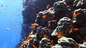 Colorful Fish and corals On Reef  in red sea. Handheld shot stock video