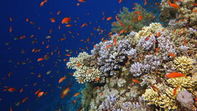 Colorful Fish and corals On Reef  in red sea. stock video